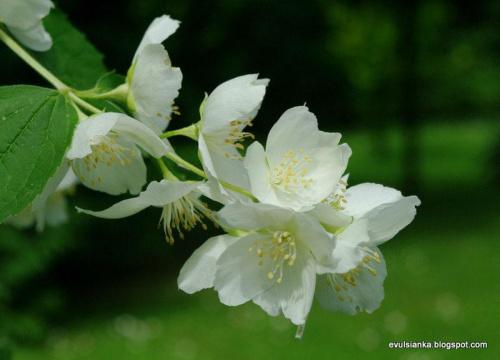Jaśmin w moim ogrodzie - ale pachnie :) #goździki #jaśmin #poziomka