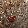 z szuflandii ... #deszcz #jesień #kropelki #ogród #piórkówka #trawa