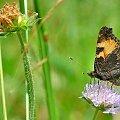 łąka w lipcu #lato #łąka #motyle #owady