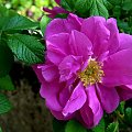 życzenia: URODZINOWO-IMIENINOWO: **** dla EWY - LISSY : **** Niech wiatr zawsze wieje Ci w plecy, a słońce świeci w twarz, niech dobry los da Ci zatańczyć wśród najjaśniejszych gwiazd !!! **** ulub. lissa **** #imieniny #kwiaty #urodziny