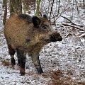 wiepkopolska przyroda #bobry #dzik #wielkopolska #zima