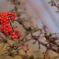 taką zimę znalazłam u siebie ... :))) #OgnikSzkarłatny #krzew #zima #ogród
