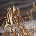 taką zimę znalazłam u siebie ... :))) #trawy #SucheTrawy #zima #NadWodą #NadRzeką #Chomiąża