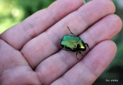 troszkę żuczkowatych ... bo dawno były ... :))) #chrząszcze #kwiaty #lato #ogród #żuczki #KruszczycaZłotawka