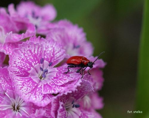 troszkę żuczkowatych ... bo dawno były ... :))) #chrząszcze #kwiaty #lato #ogród #żuczki
