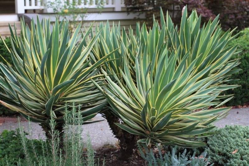 Yucca gloriosa variegata na pniu juka c2 for Yuka exterieur