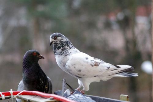 gołąbki ... :)) #gołębie #NaBalkonie #ptaki #zima