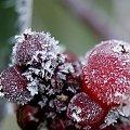 dzisiaj u mnie też już biało ... przyszła zima, ale fotek jeszcze nie zdążyłam zrobić ... a te są z jakiegoś pierwszego przymrozku ... #mróz #zima #owoce #wiciokrzew #ogród