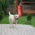 Labradorki:) #labrador #psy #szczeniaki #biszkoptowe #czarne #czekoladowe