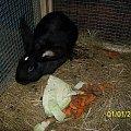samiczka #króle #królik #króliki