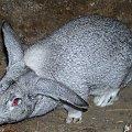samiec alfa☺ #króle #królik #króliki