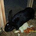 samiczka w dniu 18-03-12 ma się wykocić- zobaczymy? #króle #królik #króliki