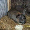 młody samczyk #króle #królik #króliki