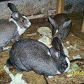 samiczki mama z córkami (córek już nie ma- zjedzone #króle #królik #króliki