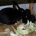 OSC z miesięcznymi dwoma diabełkami #króle #królik #króliki