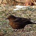 #kosy #ptaki #zima
