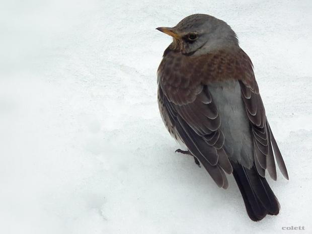 #kwiczoł #ptaki #zima