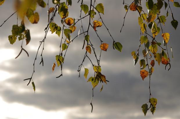 #jesień #liscie #drzewa #brzoza