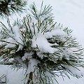 mini sosenka pod śniegową kołderką ... #mróz #ogród #śnieg #zima