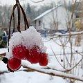 w ogrodzie zostały jeszcze korale kaliny ... #mróz #ogród #śnieg #zima