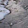 zima ... zimno ... **** ulub. danusialuban **** #ptaki #łabędzie #zima #rzeka #Kłodnica