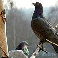moi stali i wierni goście :)) #balkon #gołębie #ptaki #zima
