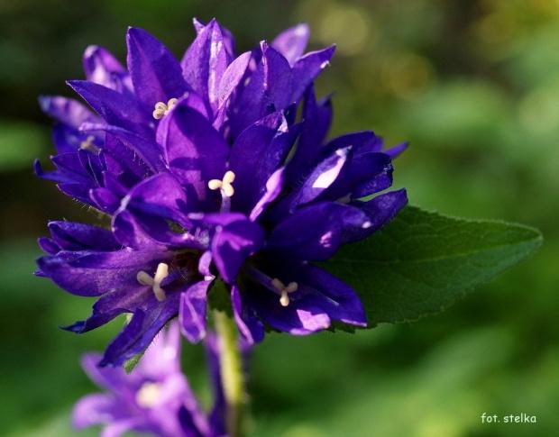 ... #kwiaty #lato #ogród #DzwonekSkupiony