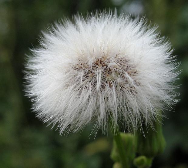 ... #kwiaty #lato #ogród #dmuchawce