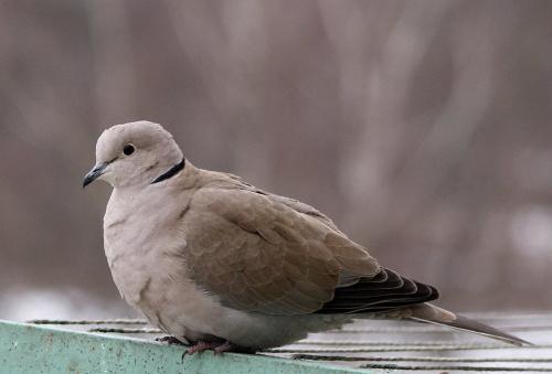 balkonowa piękność :)) #cukrówki #gołębie #NaBalkonie #ptaki #sierpówki #synogarlice #zima