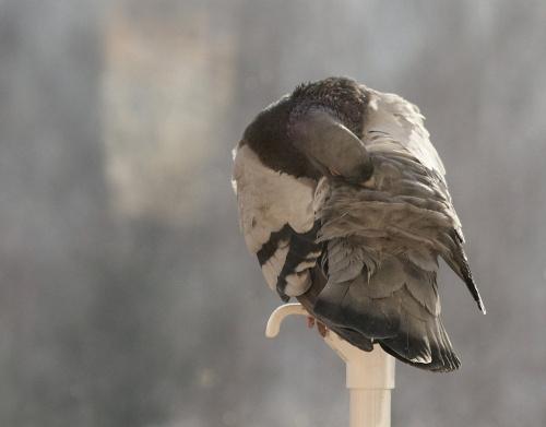 czyścioszek ... #gołębie #NaBalkonie #ptaki #zima