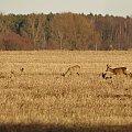 #luty #pole #sarny #zima #zwierzęta