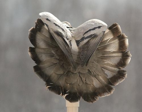 na zakończenie sezonu gołąbkowego :)) **** już ich nie dokarmiam, a nawet staram się delikatnie przeganiać ... #gołębie #NaBalkonie #ptaki #zima