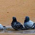 ptaszki ... na wodzie ... z szuflandii :)) #lato #ptaki #woda #gołębie